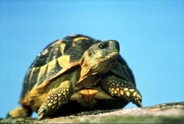 hermann-turtle.jpg